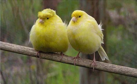 Canarios pájaros cantarines   Taringa!