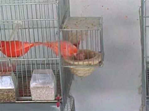 Canarios rojos y blancos Aviario Enrique Quiles   YouTube