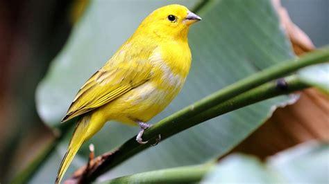 Canarios, tu mejor amigo en tu hogar   Trucos del Hogar