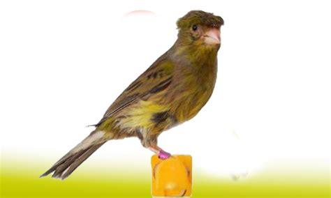 Canarios y Silvestres   DNAT Ecosistemas