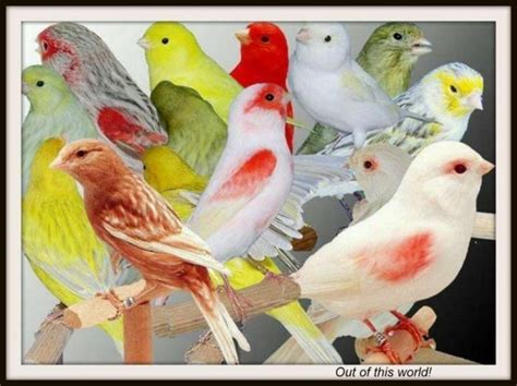 Canary Birds For Sale | Dallas, TX #139363 | Petzlover