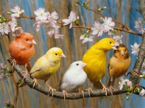 canary singing   best song bird 2017 canary singing ...