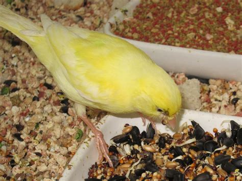 Canary Tales: Learning To Eat Seed