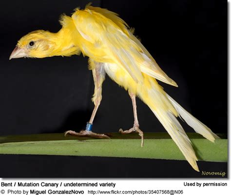 Canary Varieties & Species   Beauty of Birds