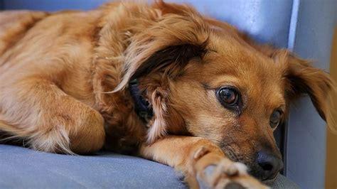 Cáncer linfático en perros