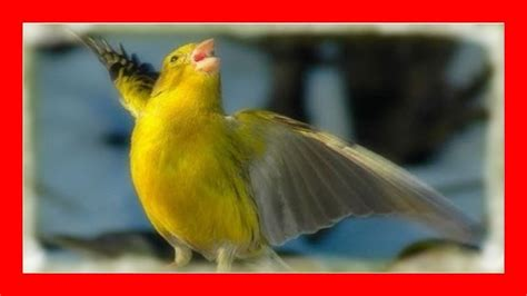 Canción Más Poderosa de Canarios Cantando para ...