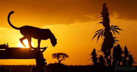 Cannabis in Kenya