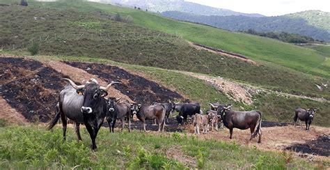 Cantabria lidera un proyecto para promover el pastoreo de ...