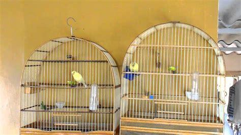 Canto canario belga   Filhotes com 04 e 03 meses.   YouTube