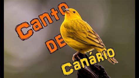 Canto Canario Belga para Treinamento   Canario do Reino ...