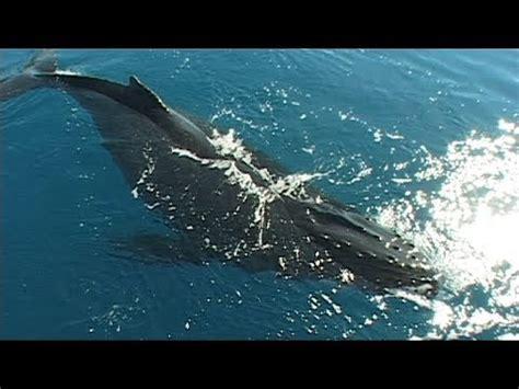 Canto de las ballenas   YouTube