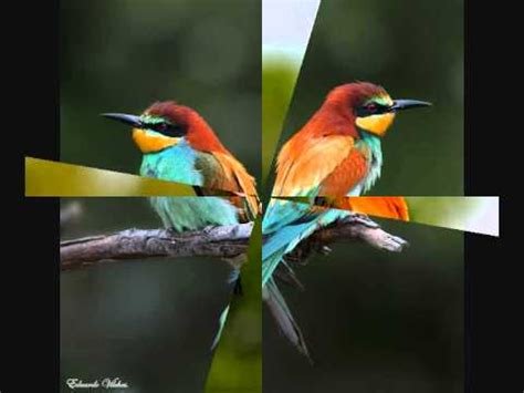 Canto de pájaros   Abejaruco   YouTube