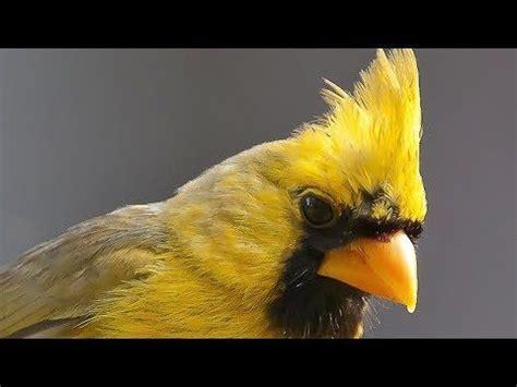 Canto del Cardenal Amarillo   YouTube   Pájaros cardenales ...