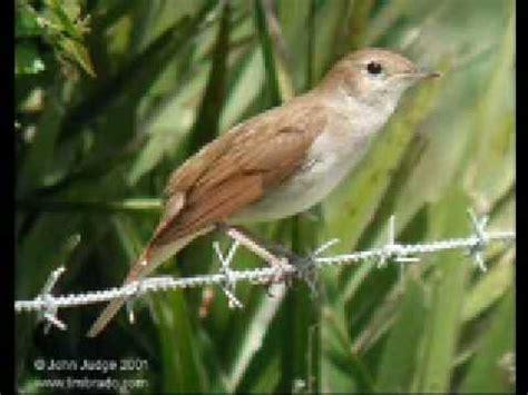 cantos de aves silvestres : jilgueros,pardillos,...   YouTube