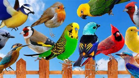 Cantos de Pajaros del Brasil | Colobri para Mi | Aves ...