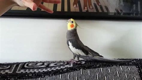 Capitan Cantando  Ninfa   Cockatiel Singing    YouTube