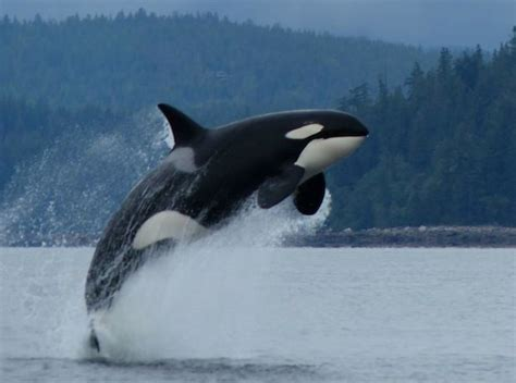 Captive Killer Whales Die Much Younger than Wild Orcas ...