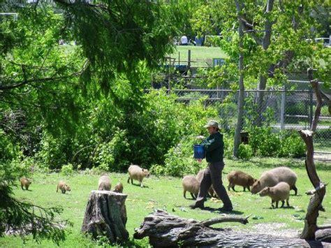Capybaras   Picture of Audubon Zoo, New Orleans   TripAdvisor