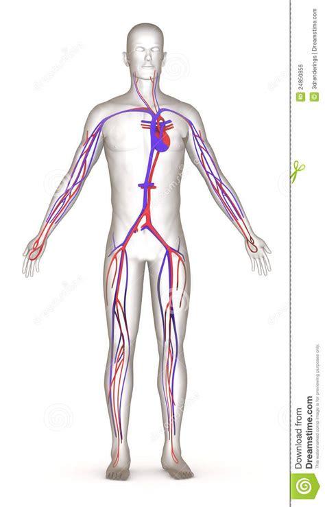 Carácter Artificial Con El Sistema Circulatorio Imagen de ...