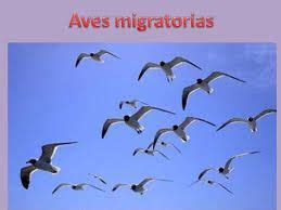 caracteristicas de las aves migratorias unas aves que sí ...