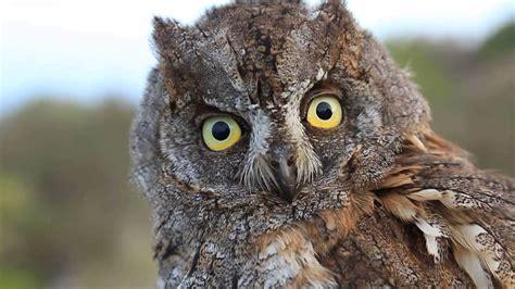 caracteristicas del autillo ave nocturna europea ¡Conoce ...