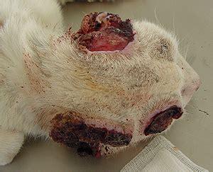 Carcinoma de celulas escamosas en gatos   Mascotas Foyel