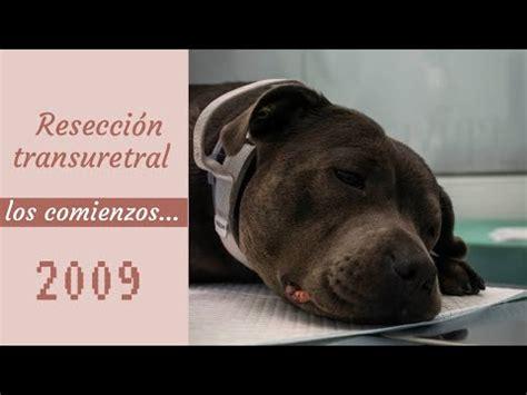 Carcinoma de vejiga en perro. Resección transuretral ...