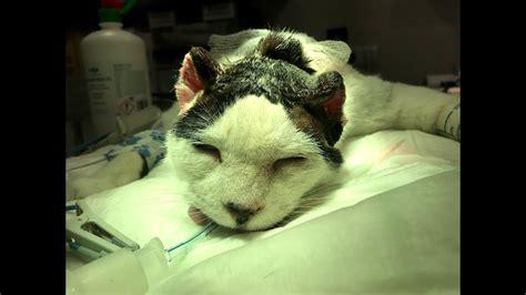 Carcinomas del borde de la oreja en el gato. Cirugía ...