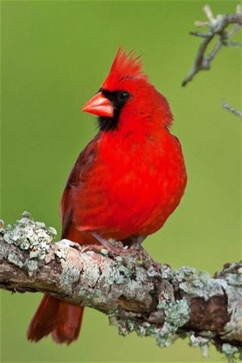 Cardinal North Carolina s state bird | North Carolina ...