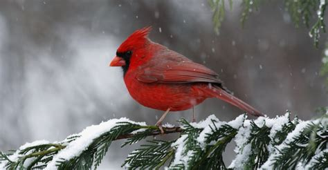 cardinal state bird of north carolina   North Carolina ...