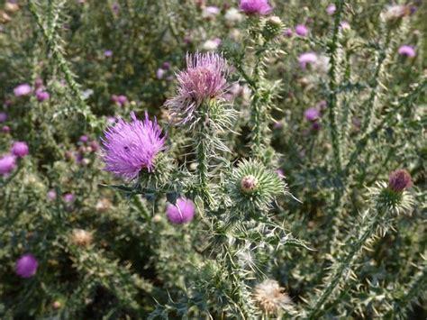 Cardo o Carduus bourgeanus: Una planta silvestre de ...