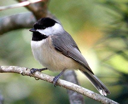 Carolina Chickadee, Identification, All About Birds ...