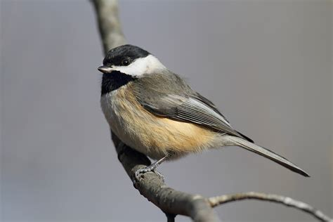 Carolina Chickadee   Song of America Birdseed