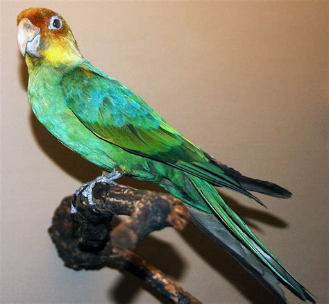 Carolina parakeet   Wikipedia