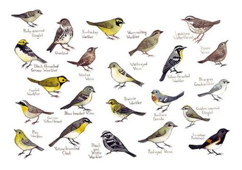 Carolina Warblers Bird Field Guide Style by KateDolamore ...