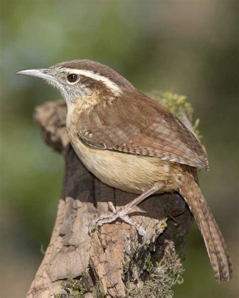 Carolina Wren | Audubon Field Guide