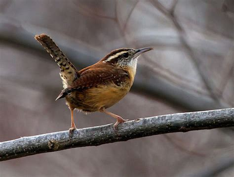 Carolina Wren » Bird Watcher s Digest