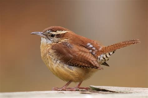 Carolina Wren ~ Birds World