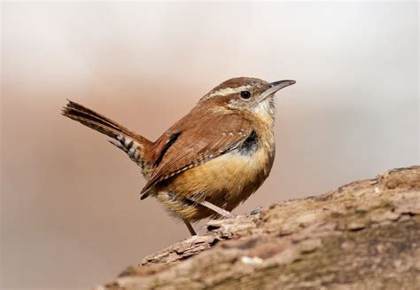 Carolina Wren | Celebrate Urban Birds