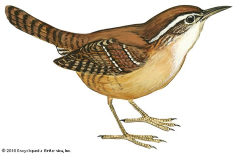 Carolina wren    Kids Encyclopedia | Children s Homework ...