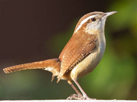 Carolina wren   Wikipedia
