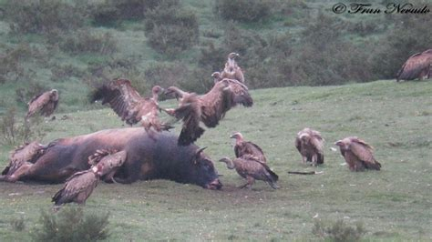 Carroñeros en acción!!  buitres, zorro, lobos..    HD ...