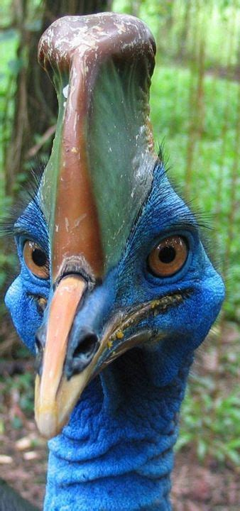 Cassowaries  ratitas  são grandes aves que não voam nativa ...
