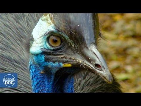 Cassowary: The most dangerous bird in the world.   YouTube
