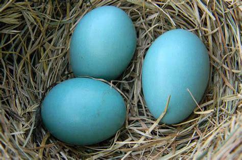 Causa expectación producción de huevos azules   Tierra ...