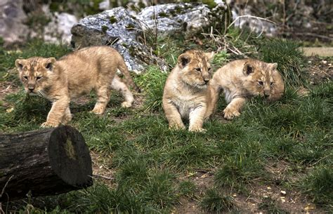 Cautiously, French zoo shows off rare lion cubs   AOL News