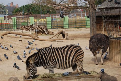 Cebras, Zoo de Barcelona | fotos de Animales