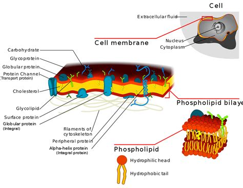 Cell biology/Membrane Transport: Permeases and Channels ...