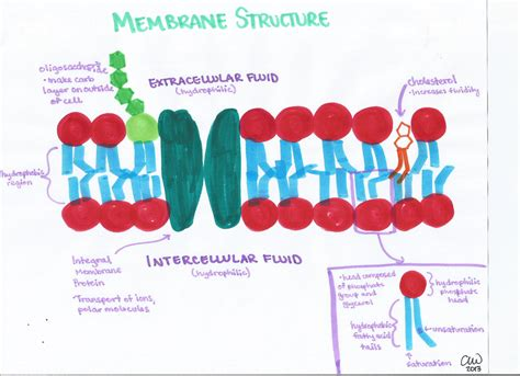 Cell Biology Study Guides | Ashley s Biology Study Guides