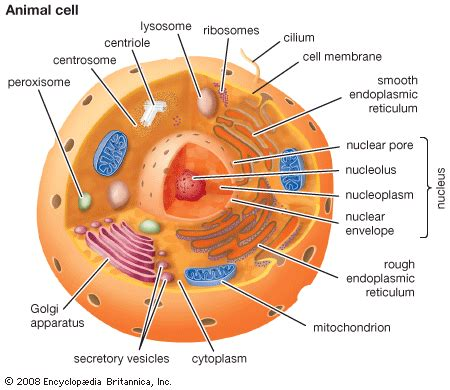 cell | Definition, Types, & Functions | Britannica.com